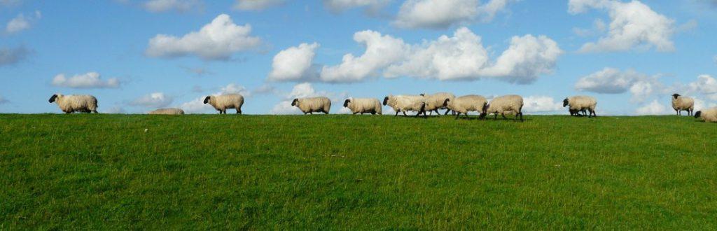 Eine Schafherde auf dem Deich